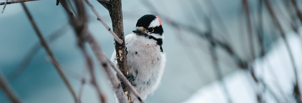 A white, black, and red downy woodpecker sits on a tree branch in winter.