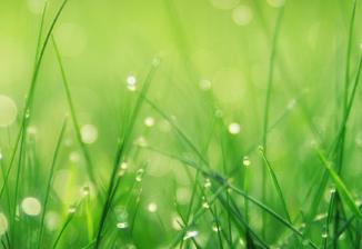 Closeup of dew on grass stalks.