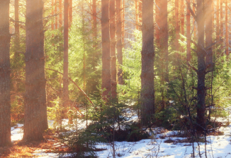 A forest in spring; the sun is shining through trees and snow is melting on the ground.