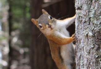 A brown squirrel peeks at the camera while climbing a tree in the woods.